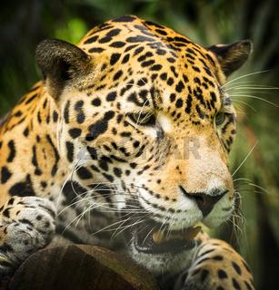 Jaguar Cat Growling