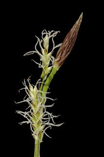 Segge (Carex)