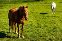Two horses on green meadow in summer, grassland, Ireland
