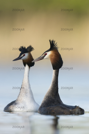 Great Crested Grebes * Podiceps cristatus *, courting pair