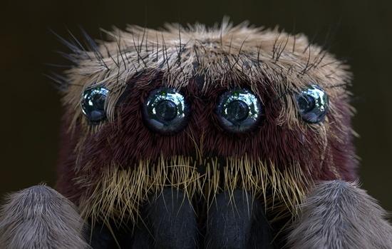 Salticus scenicus jumping spider macro 3d illustration