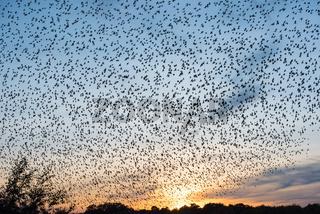 Vogelschwarm im Sonnenuntergang