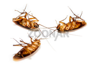 Close up group cockroach dead on white background