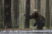 European Brown Bear * Ursus arctos *, standing on its hind legs, looks funny