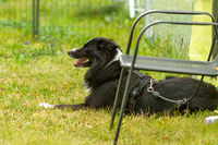 A young border collie sitting in the grass at the dog school.