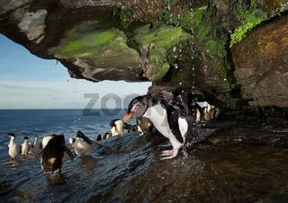 Close up of a Southern rockhopper penguin taking shower