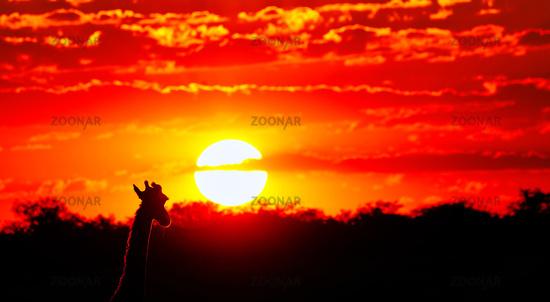 Giraffe looking at the sunset, Etosha National Park, Namibia