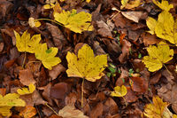 sycamore maple, yellow leaves
