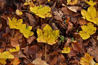 Berg-Ahornblätter, herbstlich gelb gefärbt