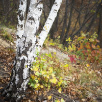 Birch in woodland in autumn