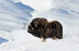 Close up of a male Musk Ox standing in snowy mountains