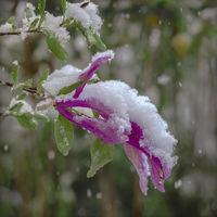 Magnolia blossom in snowfall