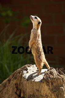 BO_Zoo_Erdmaennchen_08.tif