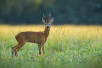 An observant roe deer buck standing on the flouring meadow