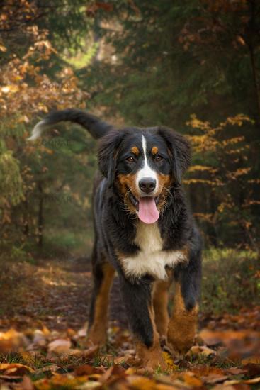 Junger Berner Sennenhund im Wald