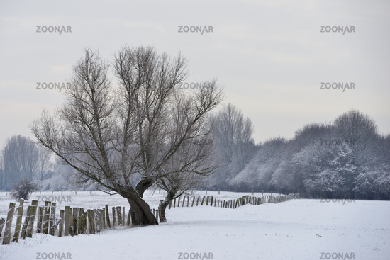 Old pollard tree on a frosty winter morning on snow covered grassland, Germany