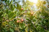Longan fruit tree.