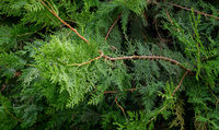 Branches of an evergreen shrub