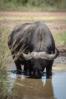 Cape buffalo drinking from muddy water hole