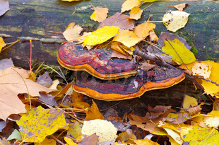 Rotrandiger Baumschwamm, Fomitopsis pinicola -  red belt conk or Fomitopsis pinicola in autumn forest