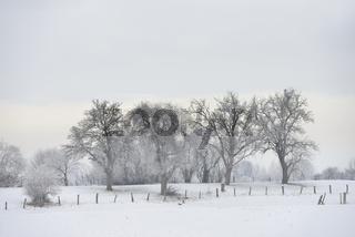 von Schnee und Raureif überzogene alte Bäume... Bislicher Insel * Nordrhein-Westfalen * im Winter