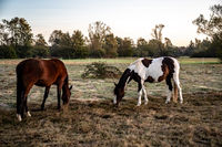 two horses in the early morning