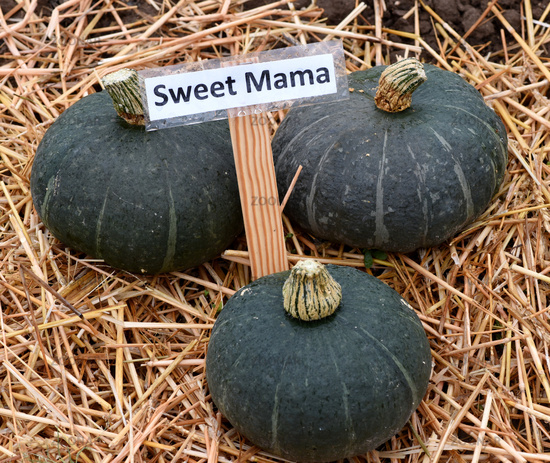 Sweet Mama; Kuerbis; Speisekuerbis