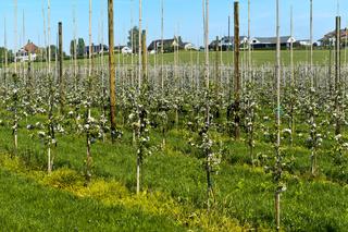 Apfelbaum-Plantage mit Jungbäumen zur Blüte, Kanton Thurgau, Schweiz
