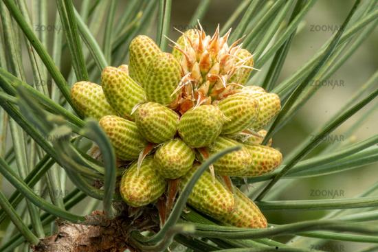Macro close up of a blooming european black pine