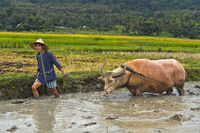 Young man ploughing a paddy rice plot with a water buffalo, Luang Prabang, Laos