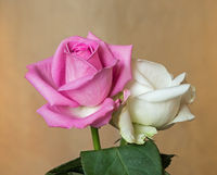 Pink and white rosebuds in natural light