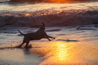 A Happy Dog Running in the Surf at the Beach at Sunset.