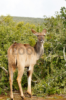 Kudu standing and looking at you