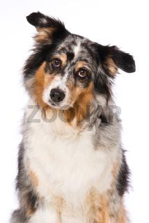 Australian shepherd dog sitting on white background