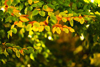 Colorful autumn leaves on a tree. Sunny fall day in nature
