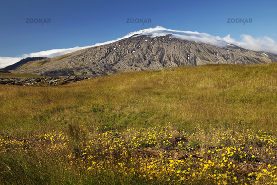 Grass landscape with flowers and glacier Snæfellsjökull, Snæfellsnes peninsula, Iceland, Europe