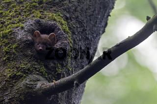Junger Baummarder schaut aus einer Spechthoehle / Martes martes