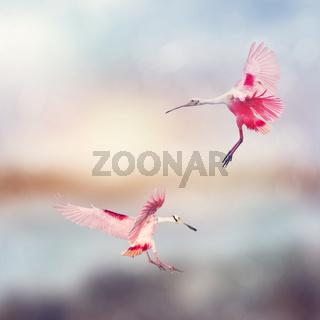 Roseate Spoonbills landing in Florida wetlands