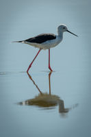 Black-winged stilt stepping through shallows in sunshine