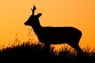 Roe deer, capreolus capreolus, male buck silhouette.