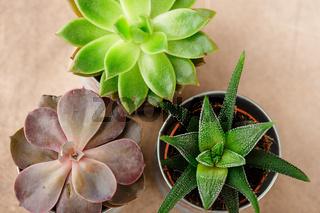 Pots with succulents of echeveria, haworthia
