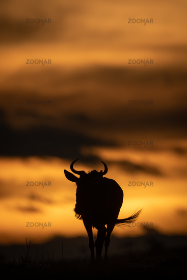 Blue wildebeest walks in silhouette at sunset