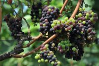 Unripe red wine grapes