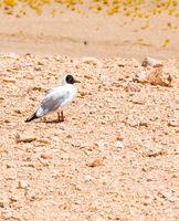Chile Atacama desert wild bird