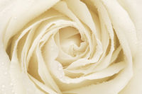 White Rose Flower Petals
