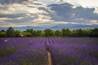 A beautiful French lavender field at dusk