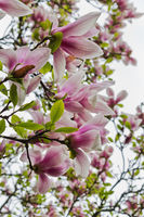 pink Magnolia flowers on a branch closeup