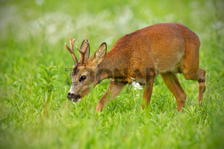 Young roe deer walking on hay field chewing peacefully in summer