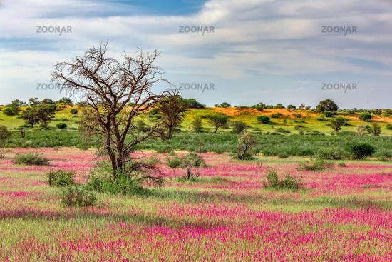 Flowering Kalahari desert South Africa wilderness