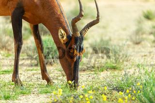 Red Hartebeest in Kalahari South Africa